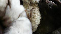 Cum on dirty fox fur