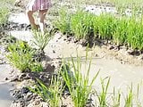 village lady in rice field upskirted